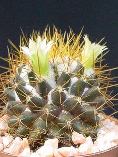 Mammillaria nivosa
