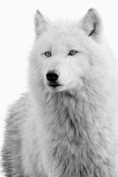 White wolf Visit for more. Arktischer Wolf, Wolf Husky, Wolf Love, Lone Wolf, Wolf Pup, Beautiful Wolves, Animals Beautiful, Cute Animals, Beautiful Creatures
