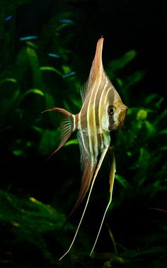 Pterophyllum Altum - Awesome view of a fish - mesmerizing.