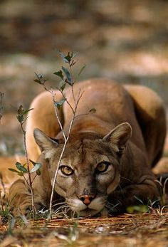 The cougar (Puma concolor)