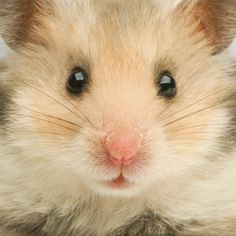 Photo about Close-up of a cute Hamster in front of a white background. Image of sweet, gerbil, cute - 2331778 Bear Hamster, Hamster House, Gerbil, Hamsters As Pets, Cute Hamsters, Rodents, Cute Baby Animals, Animals And Pets, Funny Animals