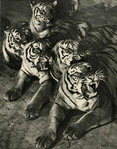 """MARTIN MUNKACSI (Hungarian 1896-1963) """"Tigers."""" 1934."""