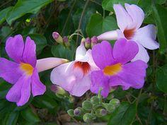 Lavendar Trumpet vine (Clytostoma callistegioides)