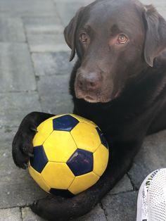 Chocolate Labrador Retriever, Chocolate Labs, Labradors, Black Labrador, Loki, Doggies, Puppies, Babies, Animals