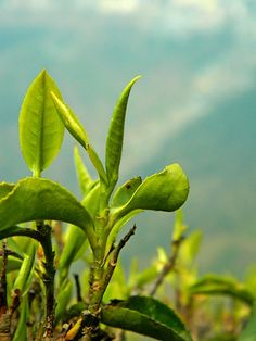 Darjeeling Spring 2012 First Flush as its growing!