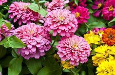 5 flores para clima seca, inclusive estes Zínias, Azaleia, Borboletinha, Crista plumosa, e Margarida amarela.