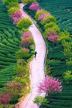 Tea Farm in Spring, China