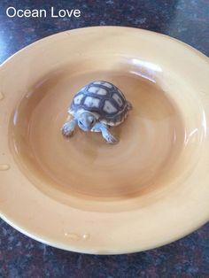 Baby tortoises are my weakness.. #turtle #turtles #cute #oceanlove