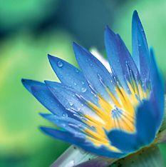 El loto azul (Nymphaea caerulea)Egipto
