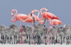 Pink flamingo feeding their young by Alejandro Prieto Rojas, Río Lagartos, Mexico