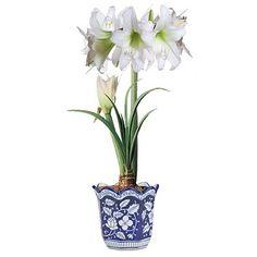 white amaryllis in blue/white pots