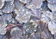 Pixie Scallops are great for crafting as they have a delicate look but are very strong and are almost perfectly flat. These Scallops are generally brown or dark purple with splashes of white all over.  • 1/2 C (appx. 20shells per package) • .5 - 1.5 wide  As these are natural seashells they will have minor wear and variances. Also be aware that colors may vary from monitor to monitor.  If you need custom quantities or shipping outside the United States please message me.