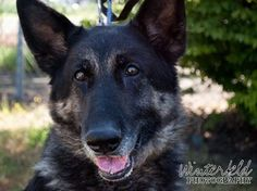 Special needs, senior German shepherd continues to wait for hospice foster home