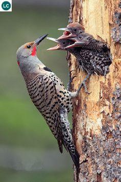 https://www.facebook.com/WonderBirdSpecies/ Northern flicker (Colaptes auratus); North America; IUCN Red List of Threatened Species 3.1 : Least Concern (LC)(Loài ít quan tâm) || Gõ kiến Flicker phương bắc; Bắc Mỹ; Họ Gõ kiến-Picidae (Woodpeckers).