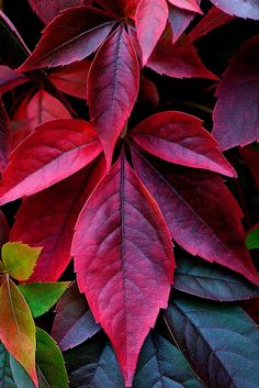 IN aUTUMN POISON iVY WEARS HER MOST AMAZING COLOR TO TRICK US...Fall Leaves