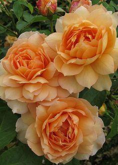 Captivating Why Rose Gardening Is So Addictive Ideas. Stupefying Why Rose Gardening Is So Addictive Ideas. Amazing Flowers, Beautiful Roses, Beautiful Gardens, Beautiful Flowers, Orange Flowers, Red Roses, David Austin Roses, English Roses, Trees To Plant
