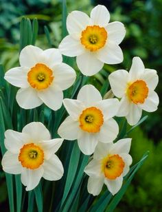Narcissus /n?s/ is a genus of predominantly spring perennial vegetation in the Amaryllidaceae (amaryllis) family. Romantic Flowers, Beautiful Flowers, Big Leaf Plants, Spring Perennials, Narcissus Flower, Flower Meanings, Garden Bulbs, Garden Stones, Flower Images