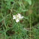 Plantas aromáticas: el Estragón, su cultivo y propiedades | ECOagricultor
