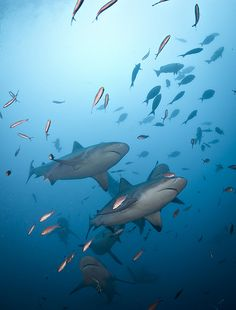 Bull sharks in Fiji, Bull #sharks can be just as deadly as Great Whites #oceanlife