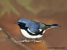 Black-throated Blue Warbler, male, FL, by Kevin Karlson