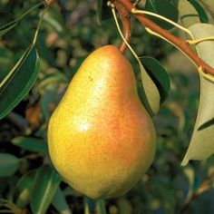 Bartlett Pear requires full sun.  Get dwarf variety from stark brothers