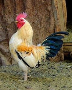 Beautiful Rooster