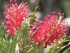 BANKS' GREVILLEA (Grevillea banksii Forsteri) 30 seeds