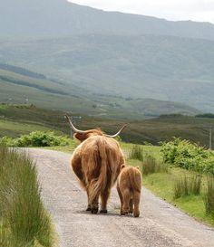 Highland sheep