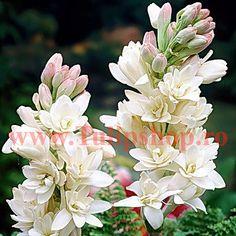 Bulbi Tuberoza (Polianthes)