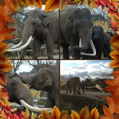 Gorgeous #elephants at the Zoo in Emmen, the Netherlands November 2012