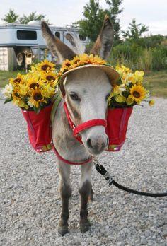 Uses For Miniature Donkeys Donkey Donkey, Baby Donkey, Cute Donkey, Mini Donkey, Baby Cows, Donkey Pics, Baby Elephants, Nature Animals, Farm Animals