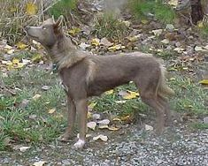 picture gallery of American Indian Dogs