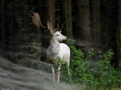Nature: Georg May (amateur), from Germany, titled this piece 'Morning Hour'. It shows a white fallow deer standing in the morning mist at Ei...