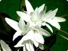 Aerangis fastuosa - Orchideen der Schwerter Orchideenzucht