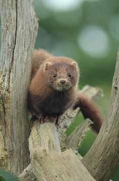 American Mink, Neovison vison by Lily Jasmine Photography, via Flickr