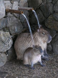 Bathing Capybaras by Kotaro Yokoyama