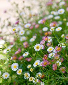 エリゲロン・カルビンスキアヌス'プロフュージョン' ❁⃘•❁⃘़︎ . 名前が長〜い…φ(・ω・*)☆・゚:* 1cm程でとっても小さいのに 存在感がある可愛いお花🌼🌸 Erigeron . ✿✾。:°ஐ*。:°ʚ♥ɞ*。:°ஐ*✾✿ . #エリゲロン #erigeron… Bokeh Photography, Love Garden, Flower Photos, Spring Time, Flowers, Plants, Instagram, Beauty, Plant