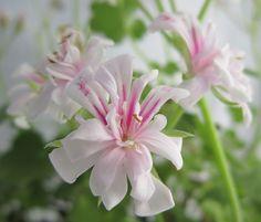 "Pelargonium ""Icing Sugar"" a dwarf ivy Dwarf, Geraniums, Hibiscus, Shrubs, Ivy, Icing, Seeds, Nursery, Sugar"