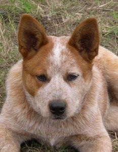 Australian Cattle Dog breed information with Australian Cattle Dog ...