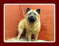 PLEDGES AND RESCUE NEEDED! A4791041 I don't have a name yet and I'm an approximately 1 year old female chow chow. I am not yet spayed. I have been at the Downey Animal Care Center since January 11, 2015. I will be available on January 15, 2015. You can visit me at my temporary home at D507. https://www.facebook.com/photo.php?fbid=795304767216524&set=a.621812584565744&type=3&theater