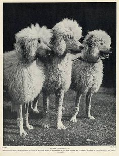 Talk about your bad poodle hair day!