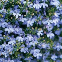 Lobelia - it was the first thing my honeybees found when we installed the hive.