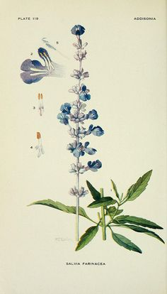 Salvia farinacea / Addisonia : colored illustrations and popular descriptions of plants, 1918