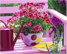 Вырастить герань можно и из семян, но я предпочитаю черенкование, которое проводится с середины февраля до начала марта...
