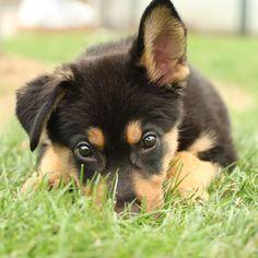 Sweet Short Haired German Shepherd Puppies Wallpaper