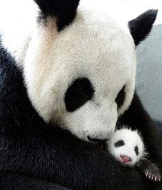 Panda Cub, Mother Reunited at Taiwan Zoo - So Adorable..Must See!*
