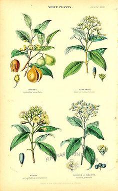 Antique print: picture of Spice Plants - Nutmeg, Cinnamon, Clove, Allspice or Pimento