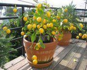 Comment-prendre-soin-d'un-citronnier