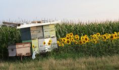Beehives and sunflowers.