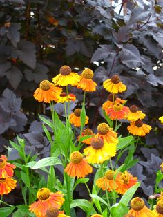 Fabulous Plant Combinations Sneezeweed (Helenium 'Mardi Gras') have wonderful deep brown centers which echo the foliage of Ninebark (Physocarpus 'Diablo' )